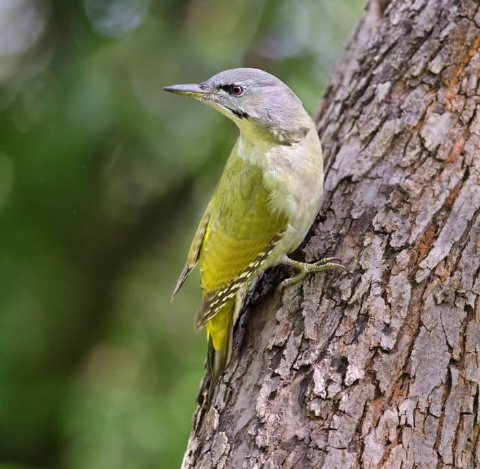 Grey Headed Woodpecker Shutterstock 1279755592
