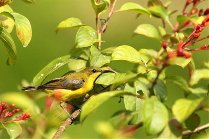 Olive-backed Sunbird (Janice Fiske)