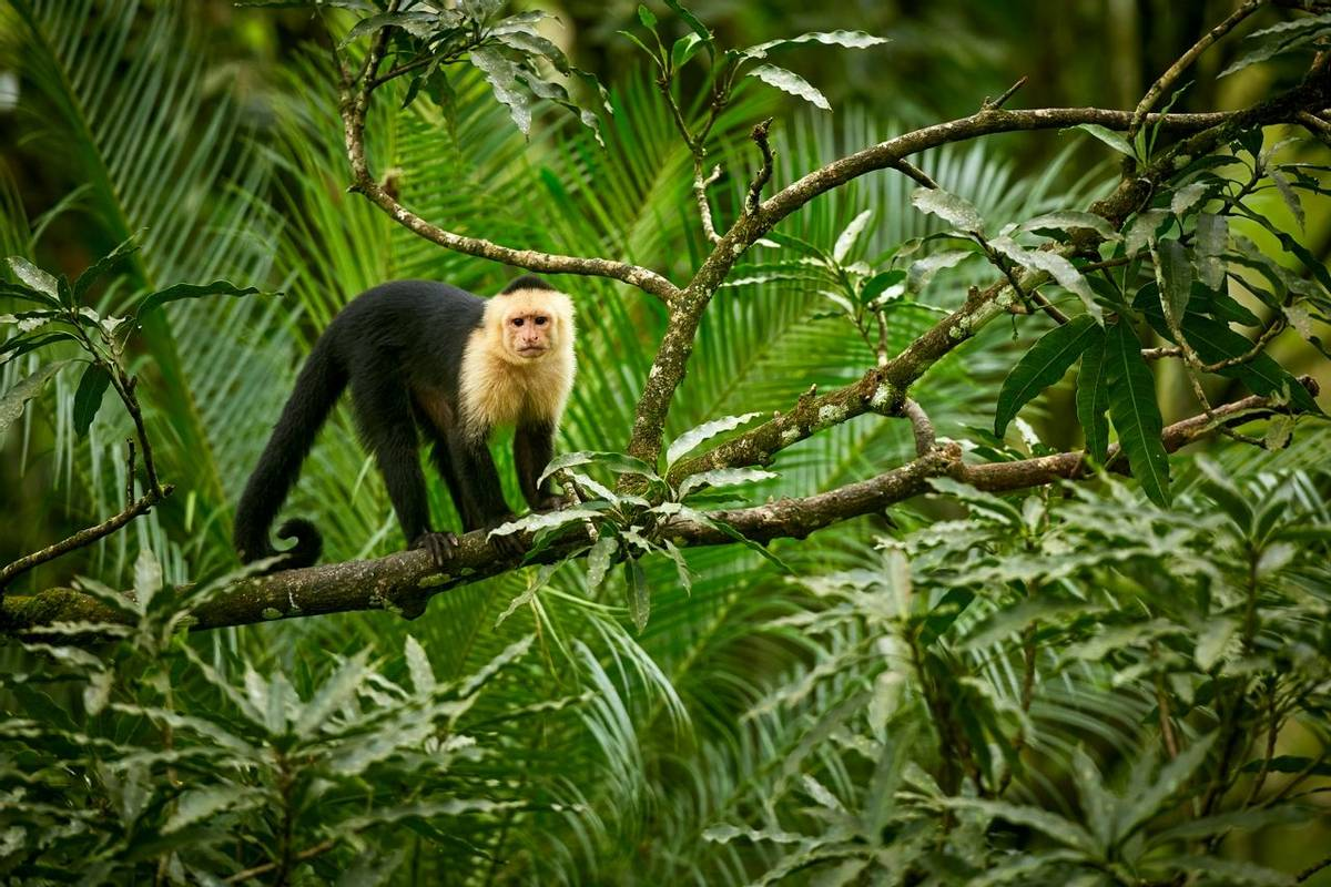 White Headed Capuchin, Costa Rica Shutterstock 1013561362