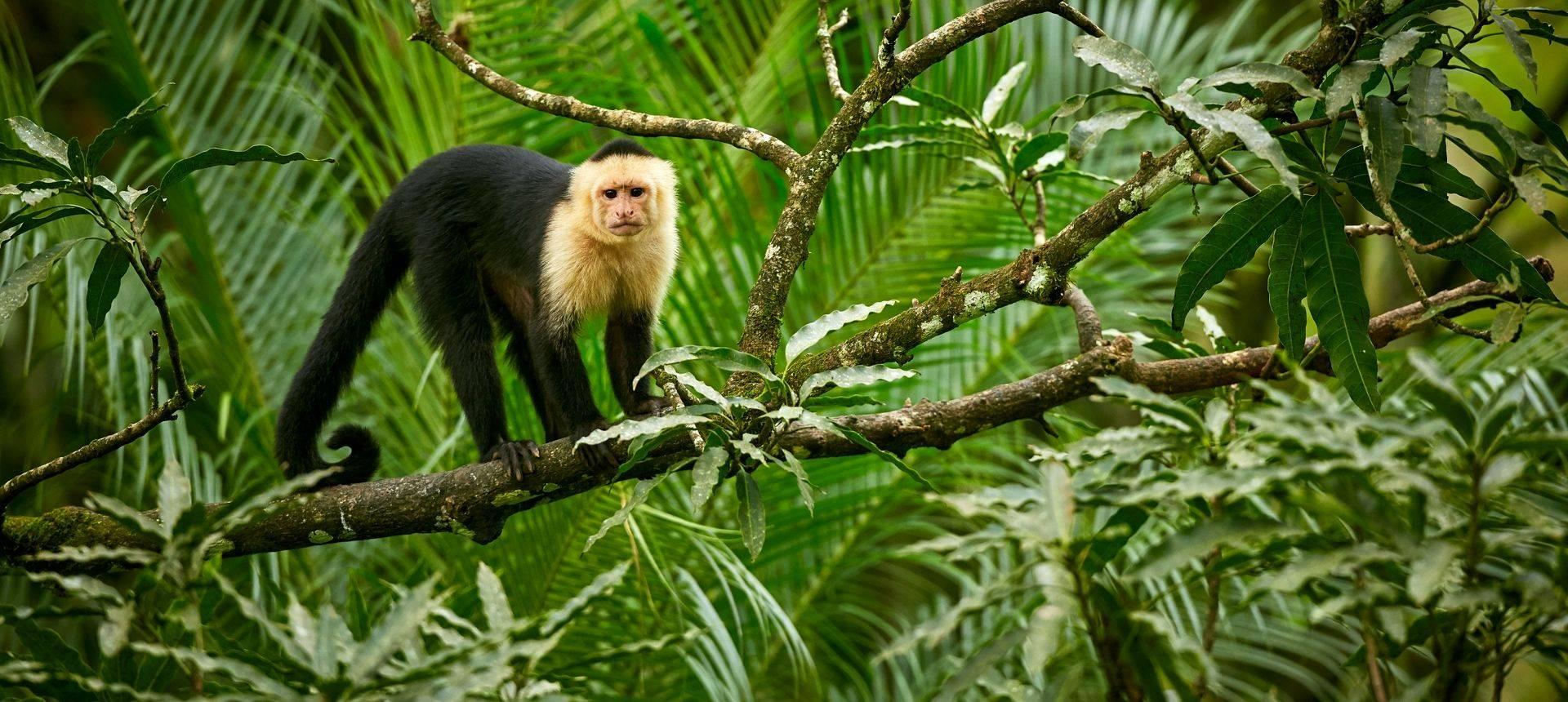 White Headed Capuchin, Costa Rica Shutterstock 1013561362