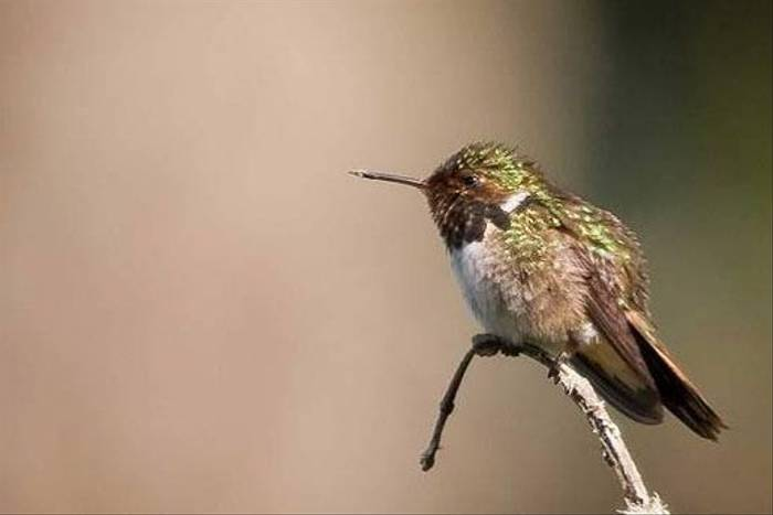 Volcano Hummingbird (Peter Dale)