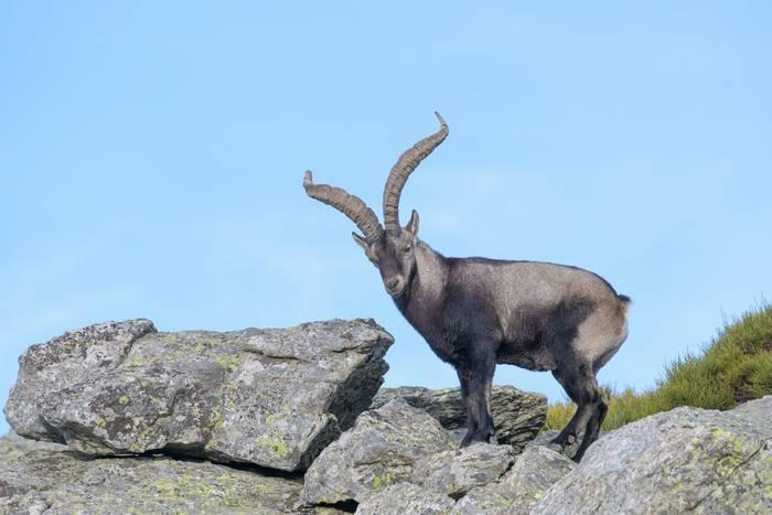 Iberian Ibex, Spain shutterstock_772536259.jpg
