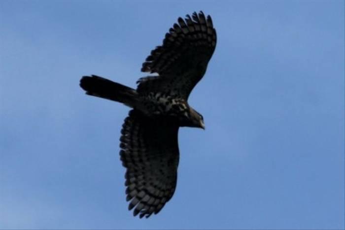 Congo Serpant Eagle (Stephen Berry)