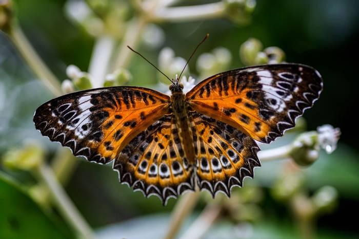 Tamil-Lacewing,-Sri-Lanka-shutterstock_1152211511.jpg