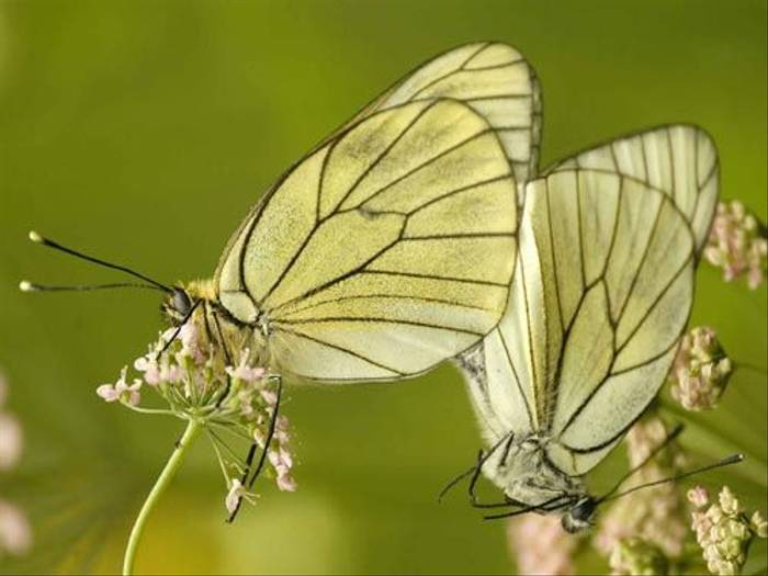 Black-veined White (Matt Hobbs)