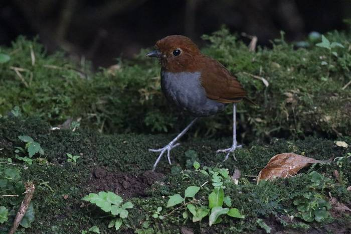 Bicoloured Antpitta (Robin Smith)