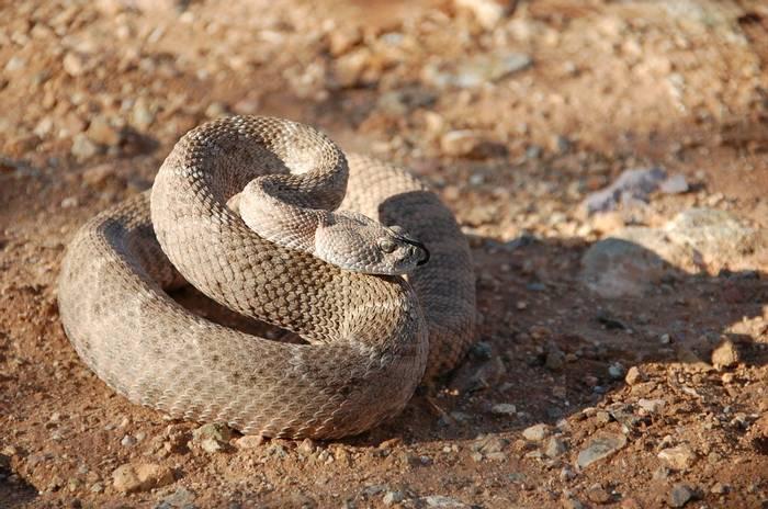 Western Diamondback Rattlesnake (Crotalus atrox) - Tom Wells