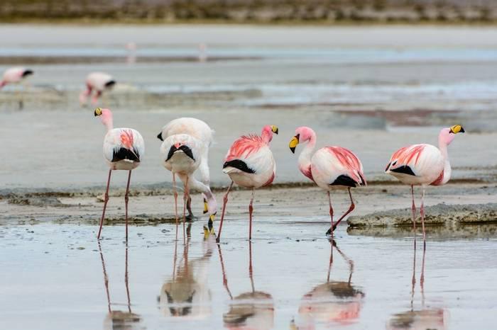 Puna Flamingo Shutterstock 1057810661