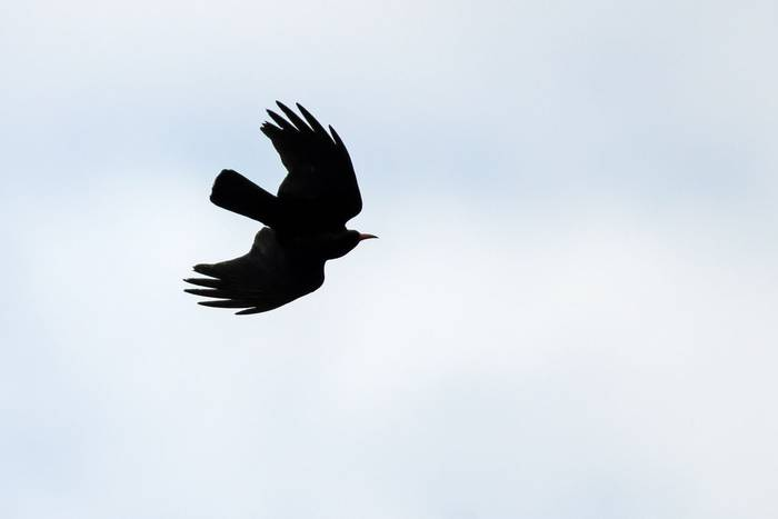 Chough sillhouette (Mike Vickers)