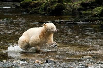 Spirit Bear by Lee Morgan