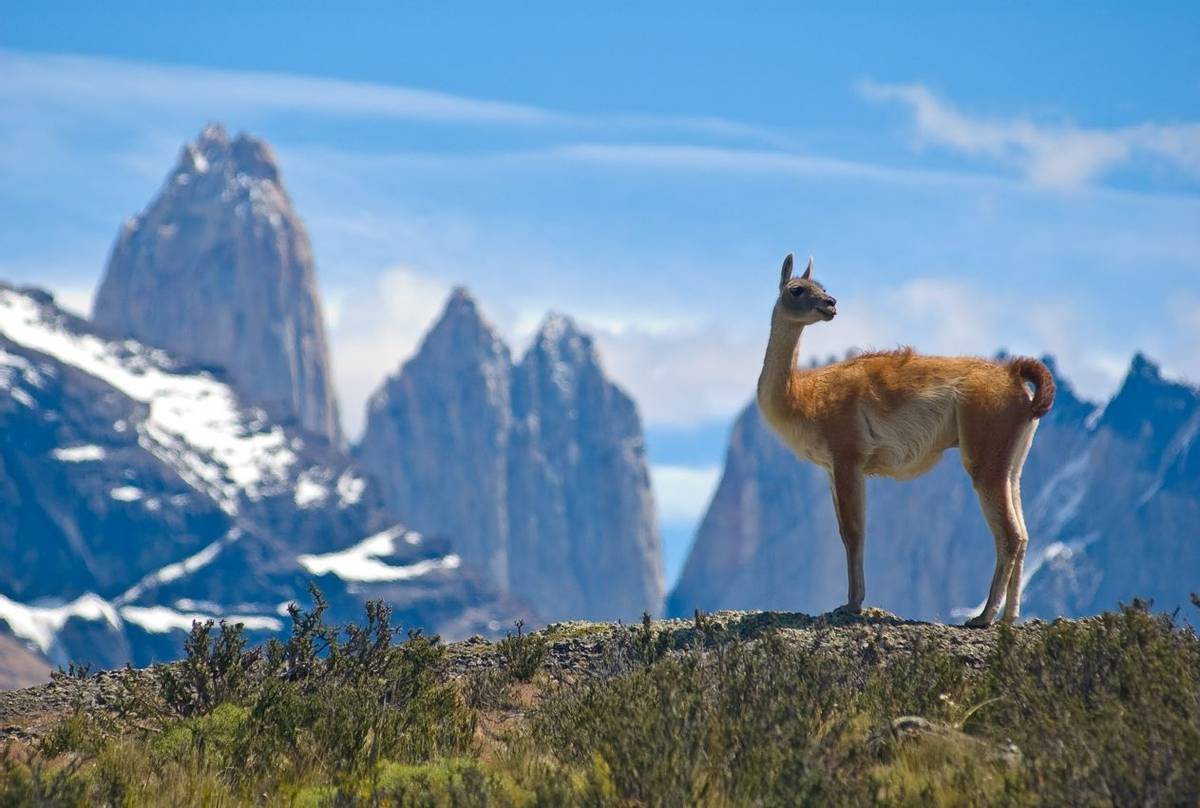 Guanaco (Lama). Torres Del Paine National Park, Patagonia, Chile. Shutterstock 14121091