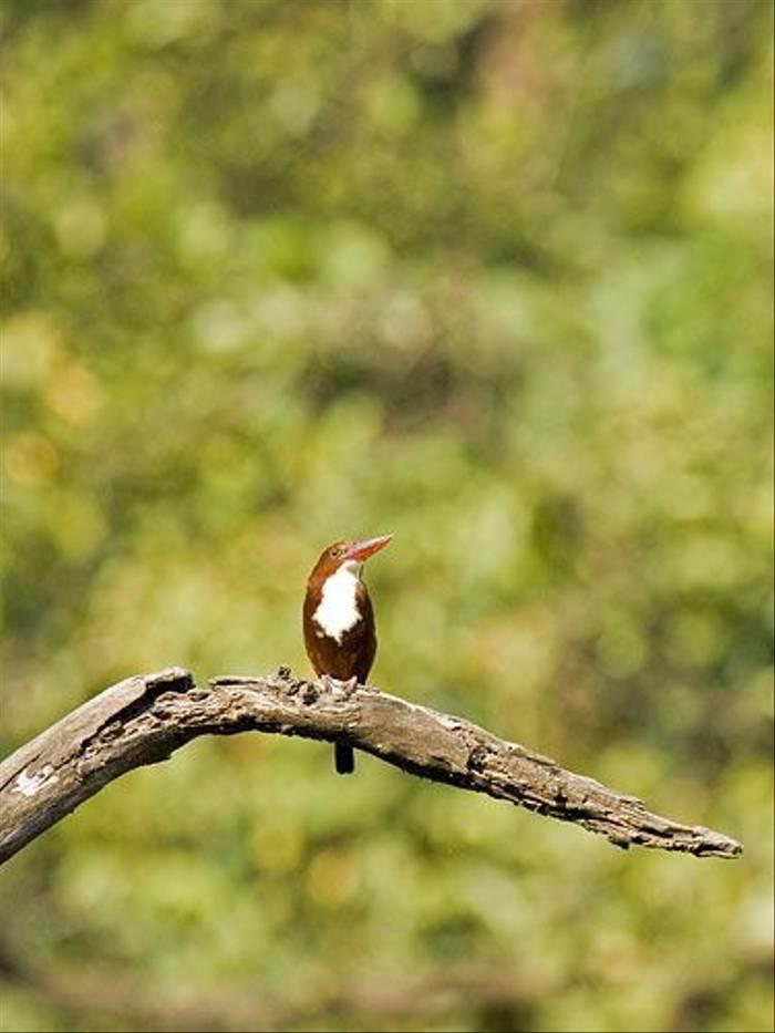 White-throated Kingfisher (Paul Marshall)