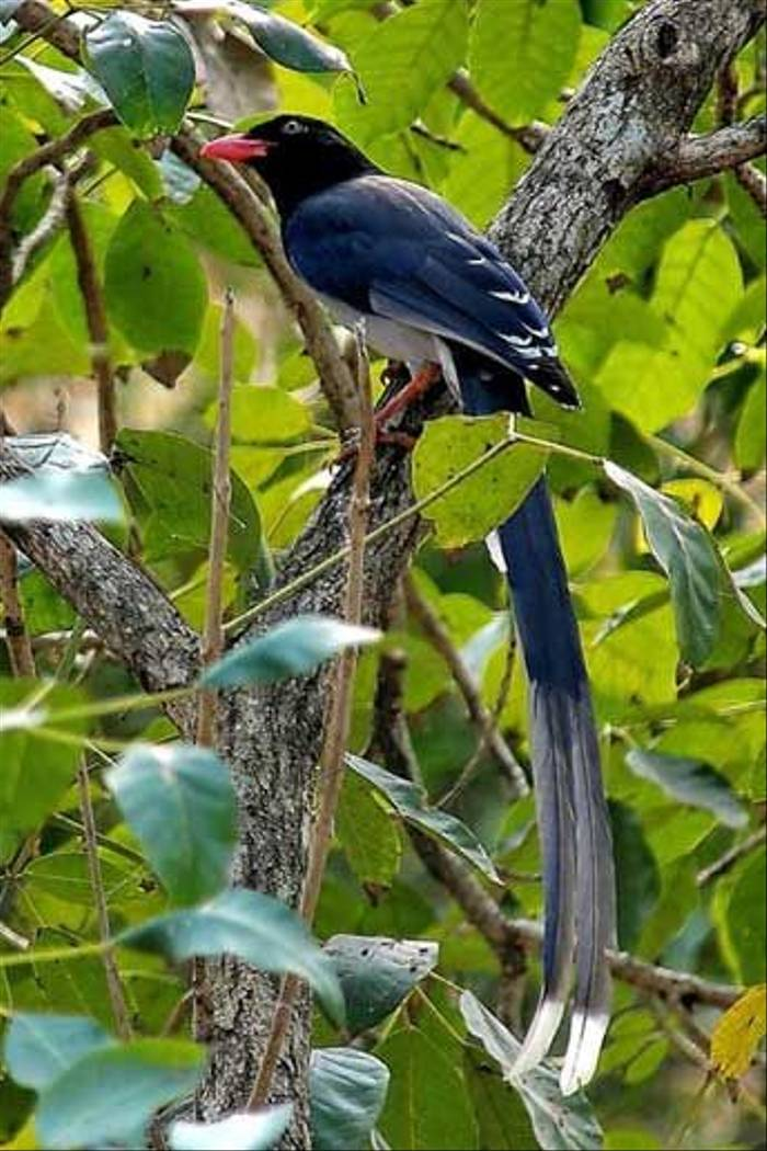Red-billed Blue Magpie (S. Y. Phanich)