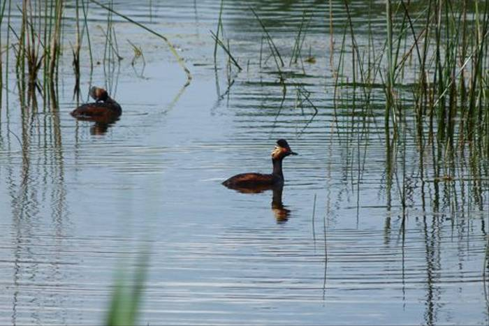 Black-necked Grebes (Tom McJannet)