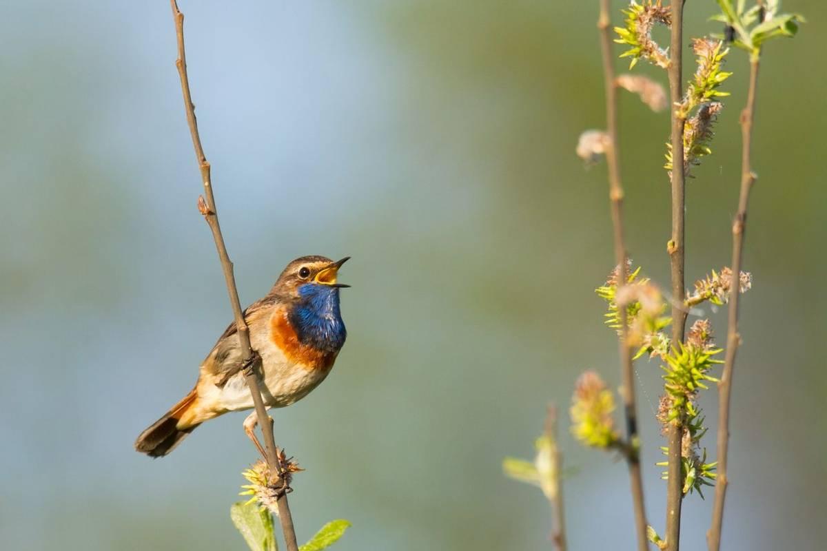 Bluethroat Shutterstock 352293998