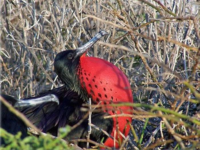 Magnificent Frigatebird (Jane Hodgson)