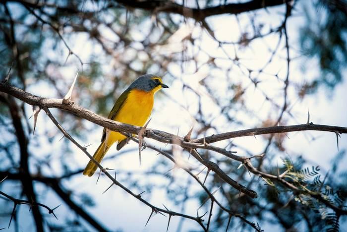 Sulphur-breasted Bush-shrike, Botswana shutterstock_1312655999.jpg