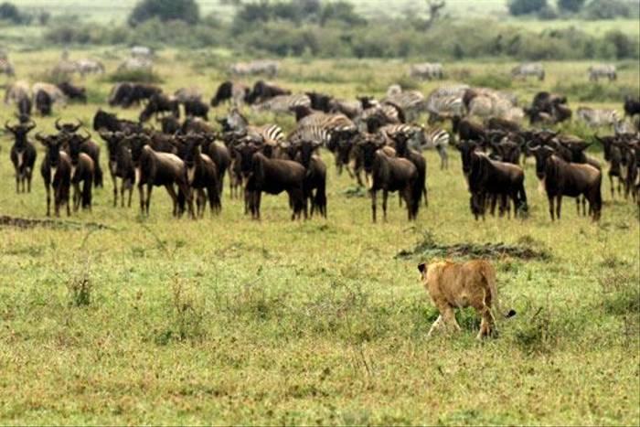 Lion stalking Wildebeest (Bret Charman)