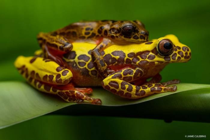 Triangle Treefrog (Dendropsophus triangulum) - Jaime Culebras