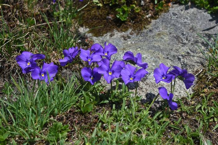 Long-spurred Pansy (Viola calcarata)