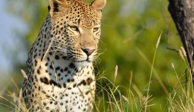 Shutterstock 104649659 Spot The Elusive Leopard