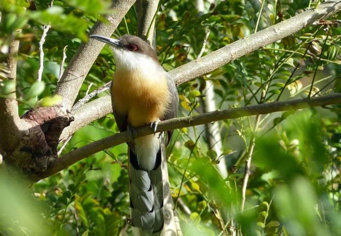 Jamaican Lizard Cuckoo (Tom Mabbett 2016 tour)