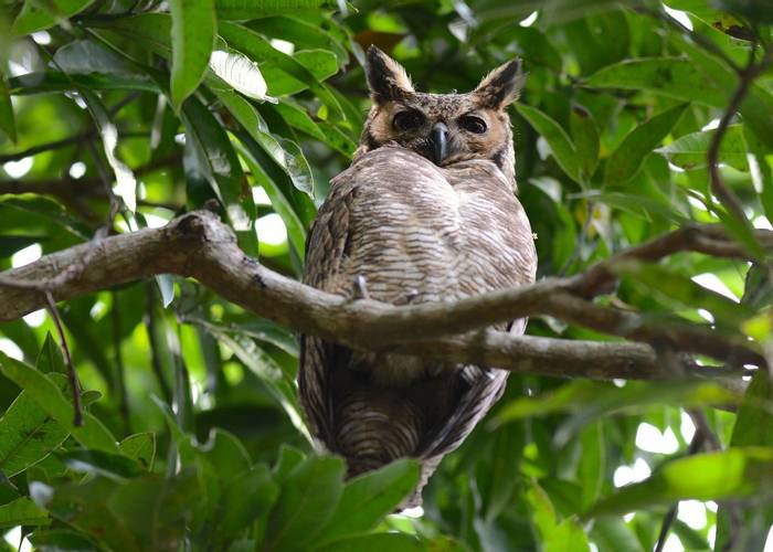 Great Horned Owl (Stephen Woodham)