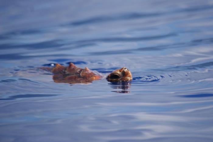 Loggerhead Turtle (Ed Drewitt)