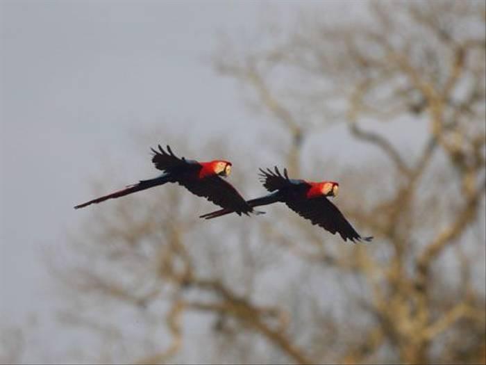 Scarlet Macaws (Peter Price)