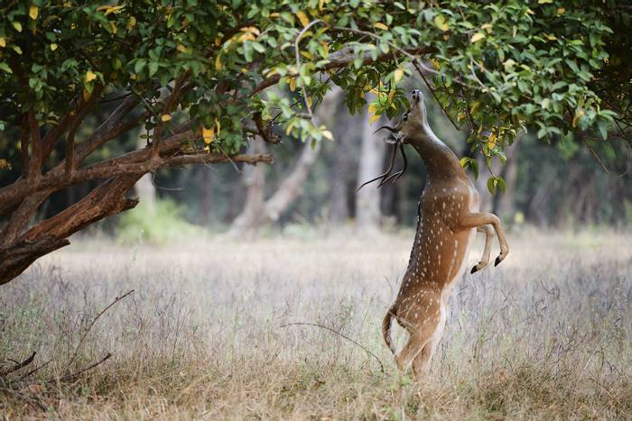 Chital, Bandhavgarh National Park, India shutterstock_211953190.jpg