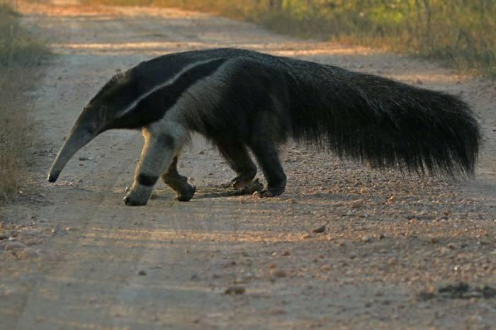 Giant Anteater (Jon Isaacs) - Taken on 'Just Jaguars!' 21 June - 2 July 2016