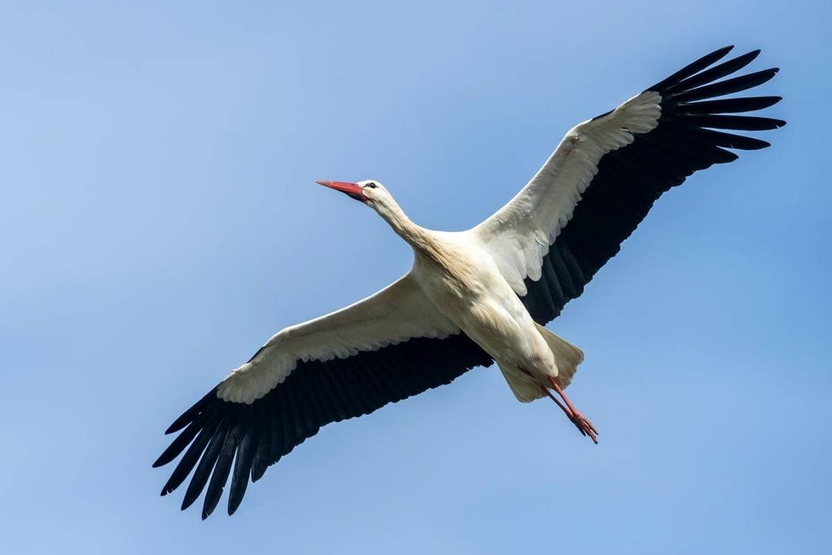 White Stork shutterstock_1725910099.jpg