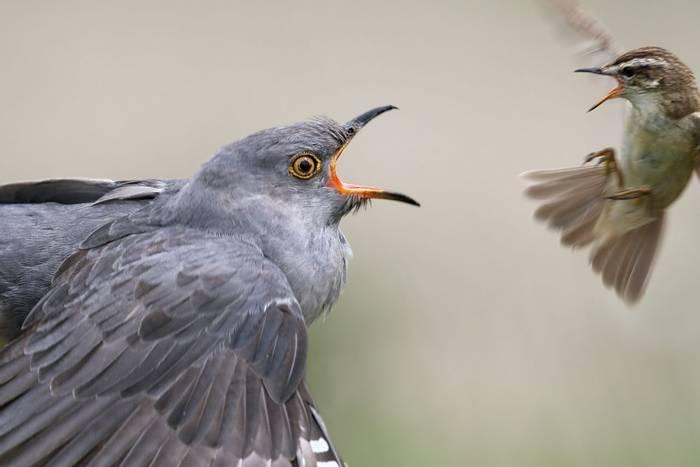 Common Cuckoo, Scotland, UK shutterstock_436677496.jpg