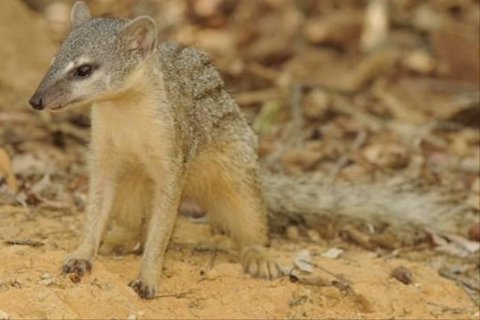 Narrow Striped Mongoose, Kirindy (Stephen Woodham)