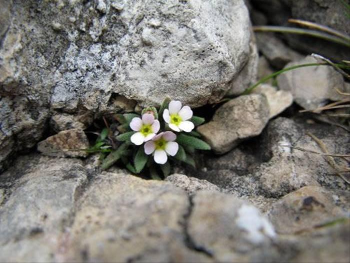 Androsace alpina - Alpine Rock-jasmine (Paul Harmes)