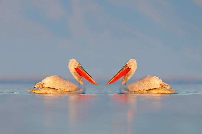 Dalmatian Pelicans, Lake Kerkini, Greece shutterstock_1490038481.jpg