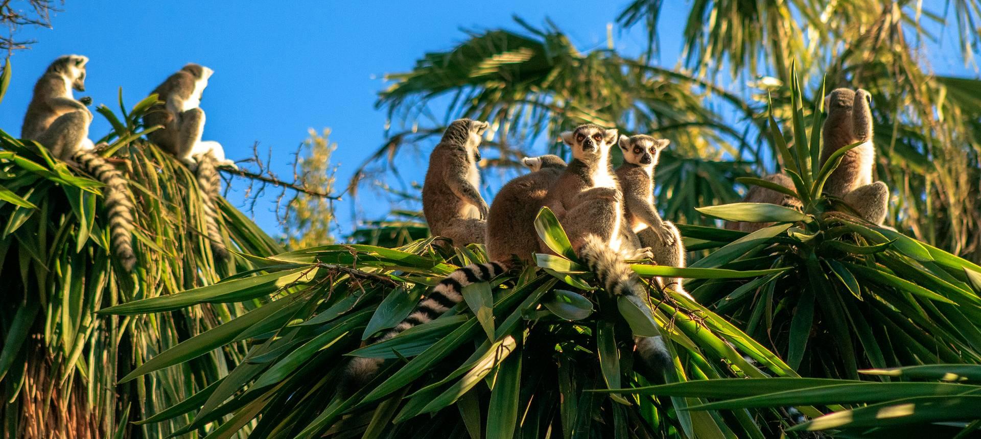 Ring Tailed Lemurs Shutterstock 569479741