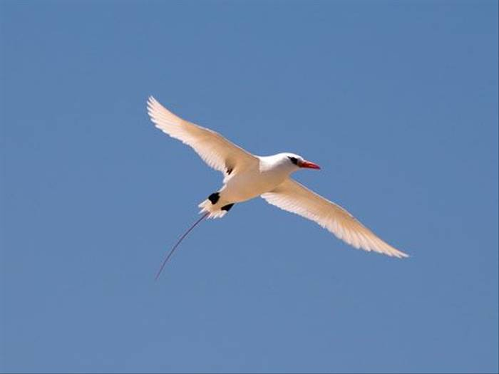 Red-tailed Tropicbird (Paul Stanbury)