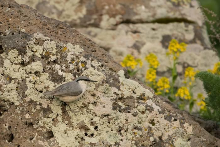 Western Rock Nuthatch (Sitta neumayer)