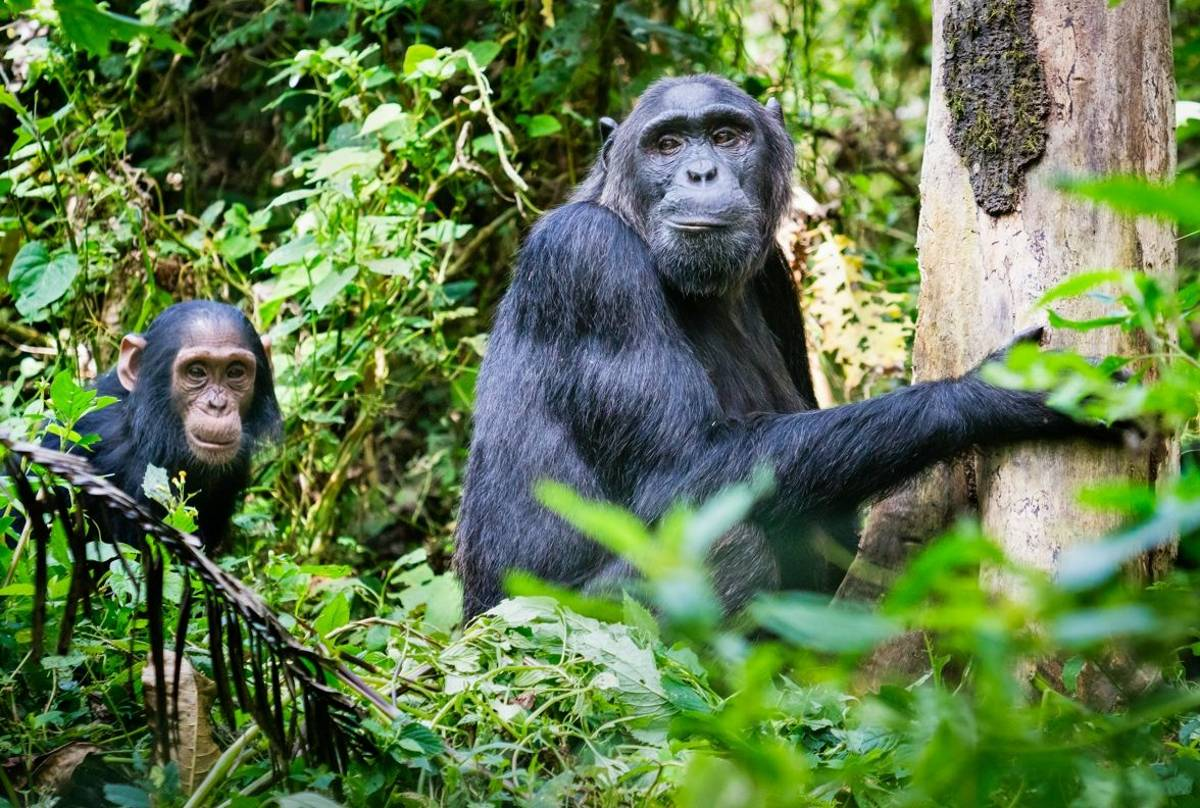 Chimpanzees, Uganda shutterstock_1130943068.jpg