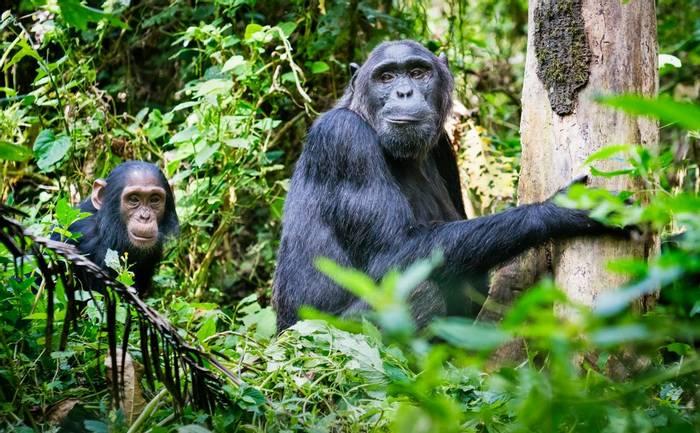 Chimpanzees shutterstock_1130943068.jpg