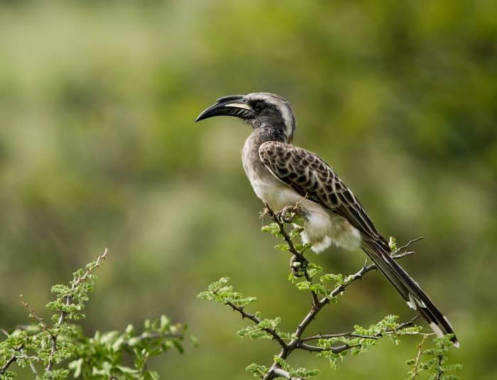 Grey Hornbill. Ghana. shutterstock.jpg