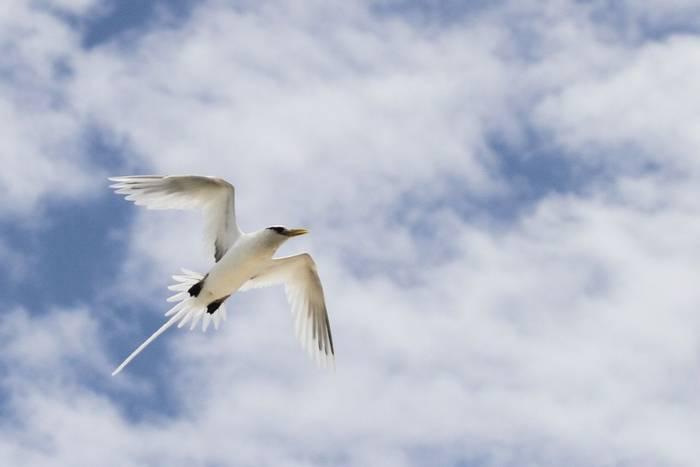 White-tailed Tropicbird (Andrew Lapworth).jpg