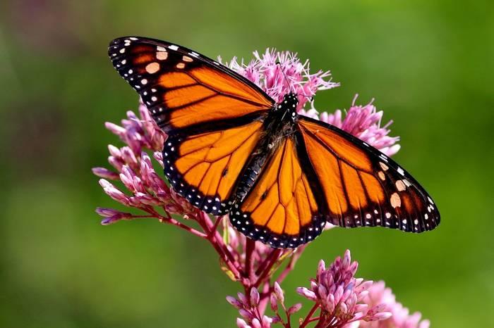 Monarch Butterfly Shutterstock 560609749