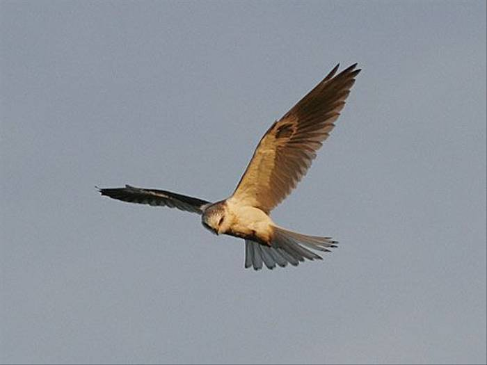 White-tailed Kite (Peter Dunn)