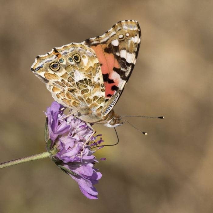 Painted Lady, Colin Brown