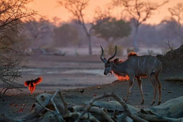 Greater Kudu, Mana Pools, Zimbabwe shutterstock_1546446281.jpg