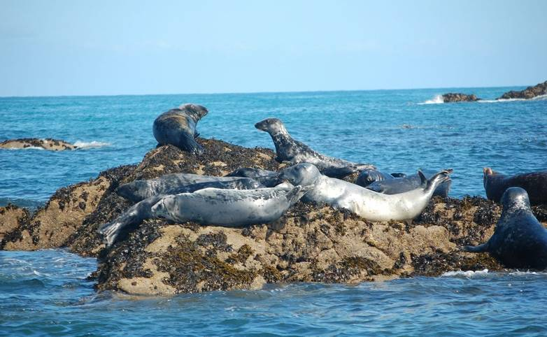 group of atlantic grey seals