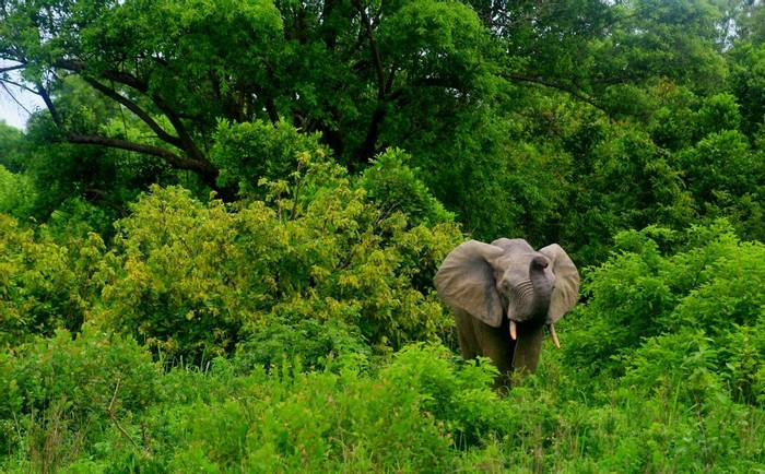 African Forest Elephant, Mole National Park, Ghana
