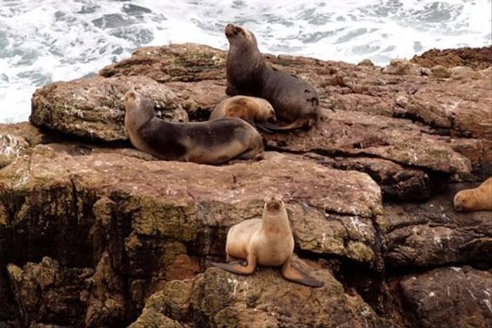 South American Fur Seal (Peter Nichols)
